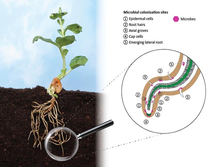 Projekt: Mikrobi na kořenech rostlin